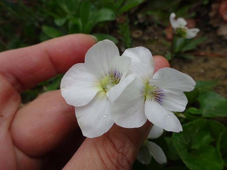 Фиалка сестринская белая (Viola sororia Albаflora) - 3