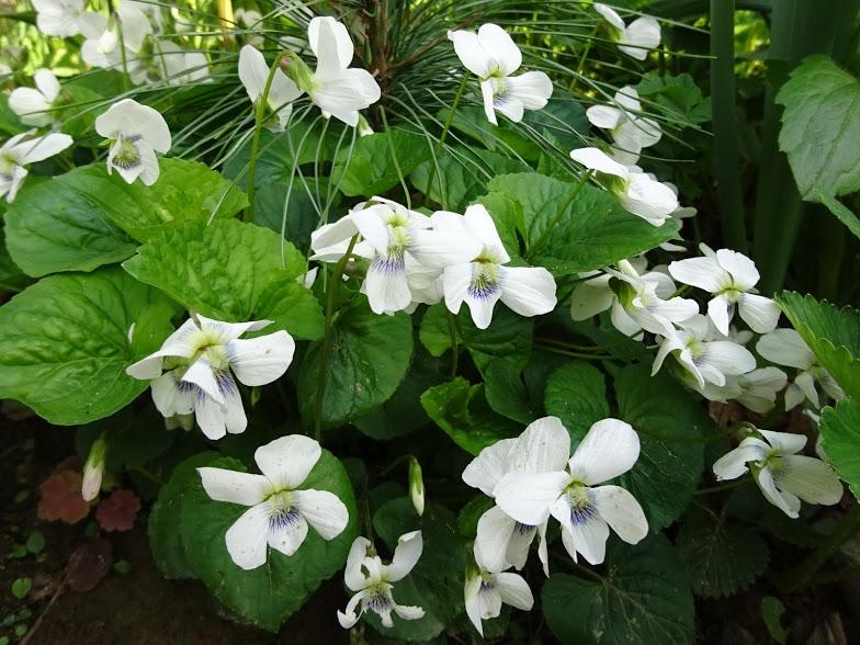 Фиалка сестринская белая (Viola sororia Albаflora) - 4