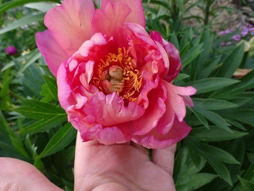 Пион джулия роуз фото