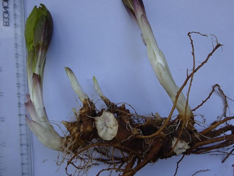 Скополия карниолийская (Scopolia carniolica Jacq.) - 4