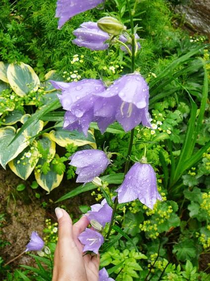 Дзвоники персиколисті (Campanula persicifolia) - 3