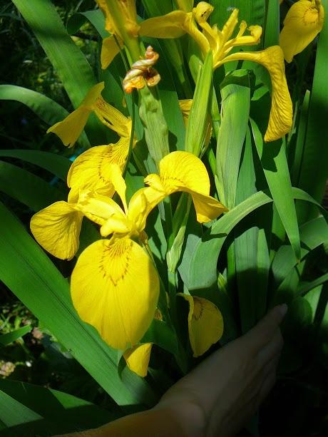 Півники болотні (Iris pseudacorus) - 2