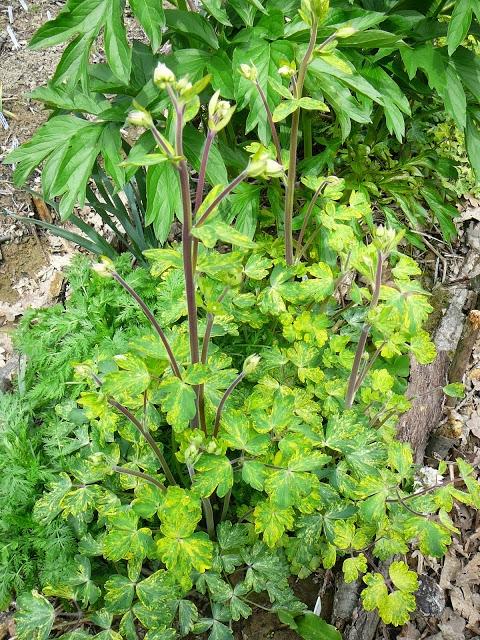 "Орлики звичайні ""Лепрекон Голд"" (Aquilegia vulgaris ""Leprechaun Gold"") - 1"