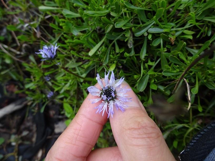 Глобулярія серцеподібнолиста (Globularia cordifolia L.)  - 4