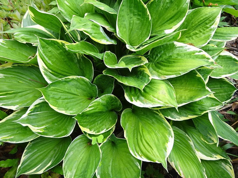 Хоста Форчуна вар. Ауреомаргіната (Hosta fortunei var. aureomarginata) - 5