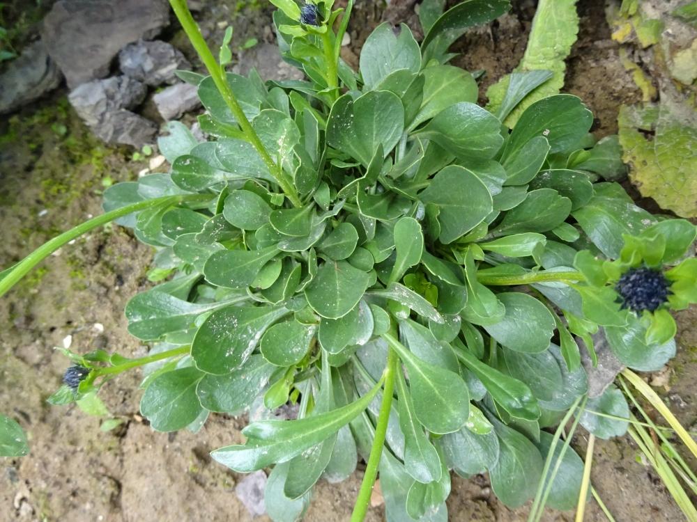 Глобулярія вузькопелюсткова (Globularia trichosantha) - 3