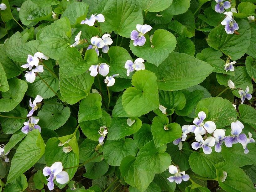 Фіалка сестринська двоколірна природна форма (Viola sororia f. Рriceana) - 2