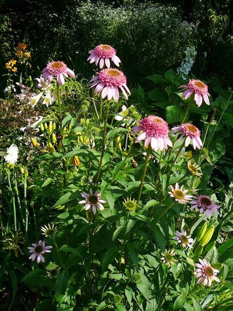 "Ехінацея пурпурова ""Раззматазз"" (Echinacea purpurea ""Razzmatazz"") - 3"