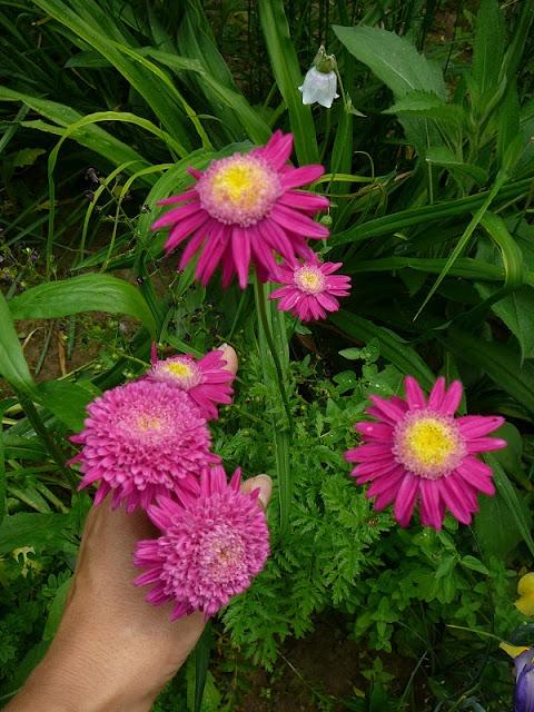 """Маруна рожева гібрид """"Ванесса"""" (Pyrethrum roseum hybridum """"Vanessa"""") - 2"""