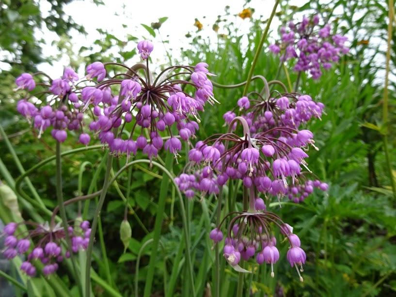 Цибуля схилена (Allium cernuum  Roth) - 3