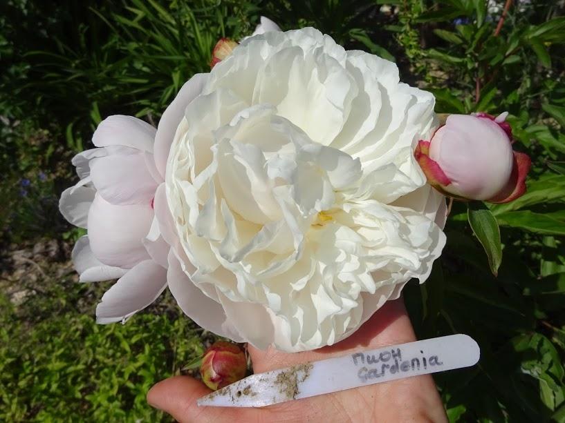 """Півонія """"Гарденія"""" (Paeonia """"Gardenia"""") - 2"""