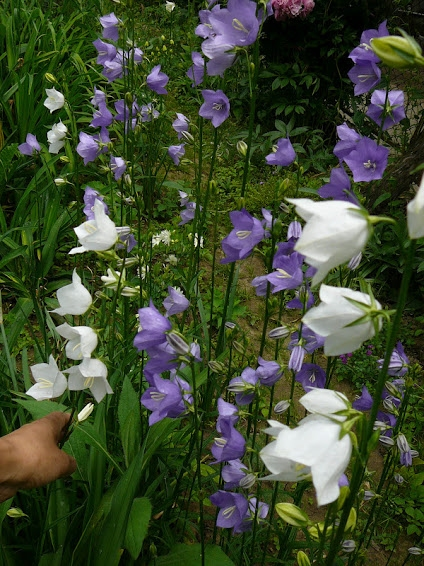 Дзвоники персиколисті (Campanula persicifolia) - 2