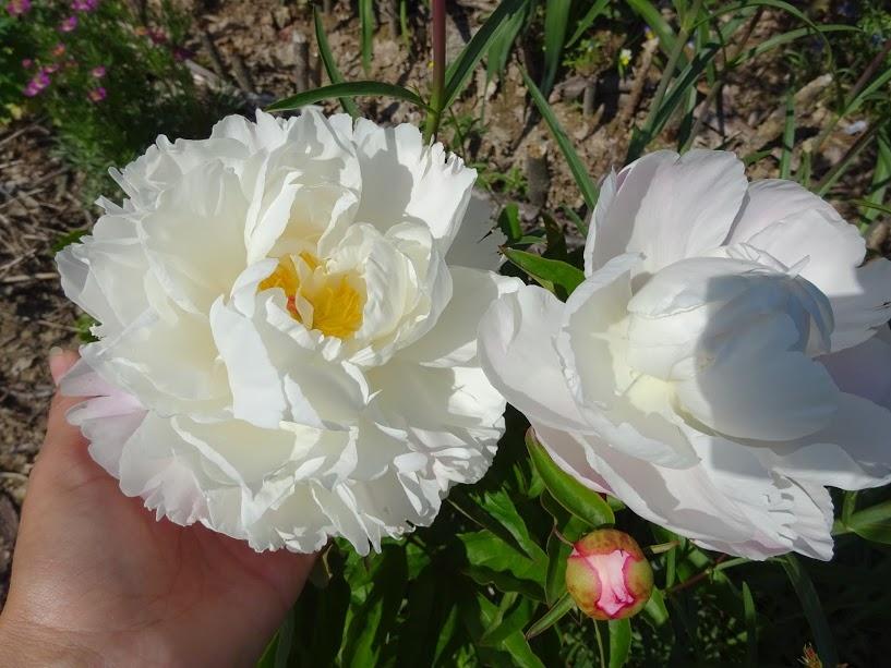 """Півонія """"Гарденія"""" (Paeonia """"Gardenia"""") - 3"""