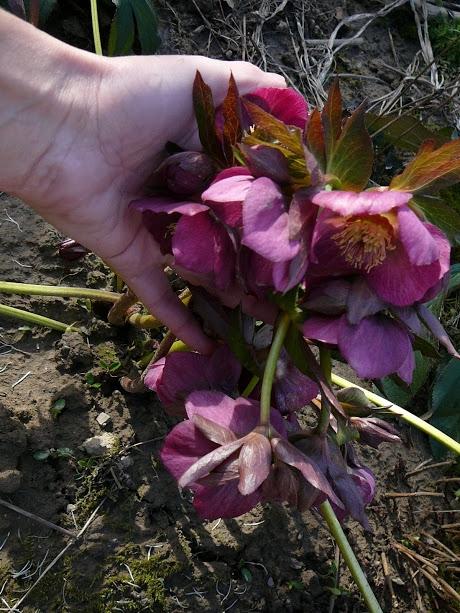 """Чемерник гібридний ЛС """"Блю Леді"""" (Helleborus × hybridus LS """"Blue Lady"""") - 1"""