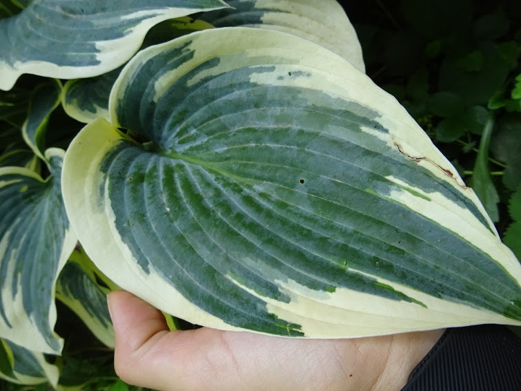 "Хоста ""Ферст Фрост"" (Hosta ""First Frost"") - 2"