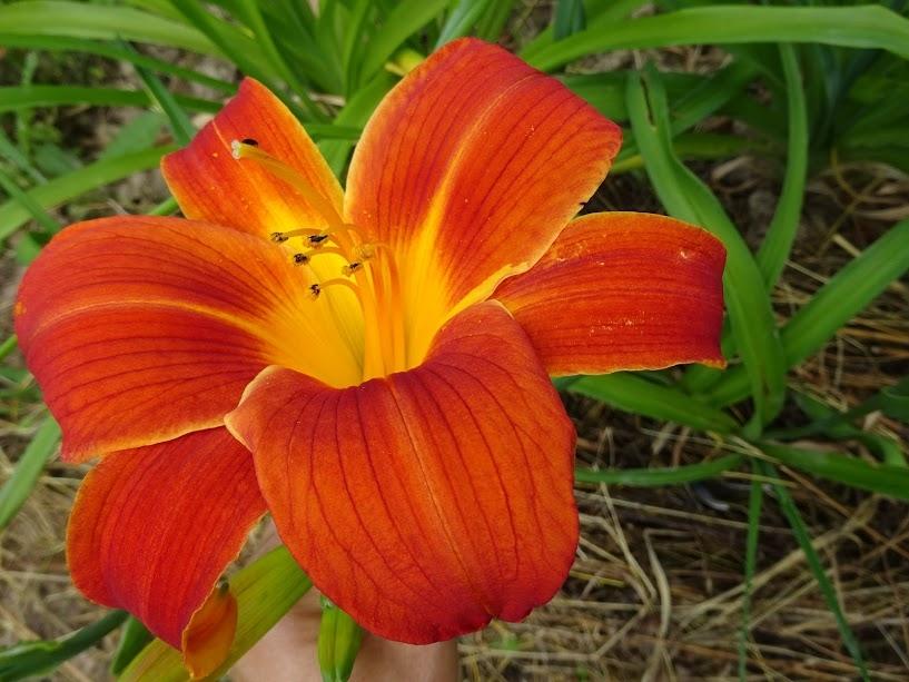 """Лілійник """"Отум Ред"""" (Hemerocallis """"Autumn Red"""") - 2"""