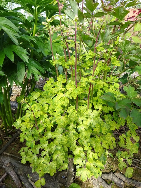"Орлики звичайні ""Лепрекон Голд"" (Aquilegia vulgaris ""Leprechaun Gold"") - 4"