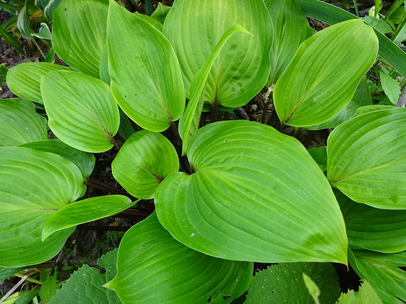"Хоста ""Перпл Харт"" (Hosta ""Purple Heart"") - 4"