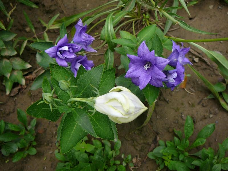 """Широкодзвоник великоквітковий, або Платікодон (Platycodon grandiflorus) напівмахрова садова форма """"Астра"""" (біла та синя) - 1"""