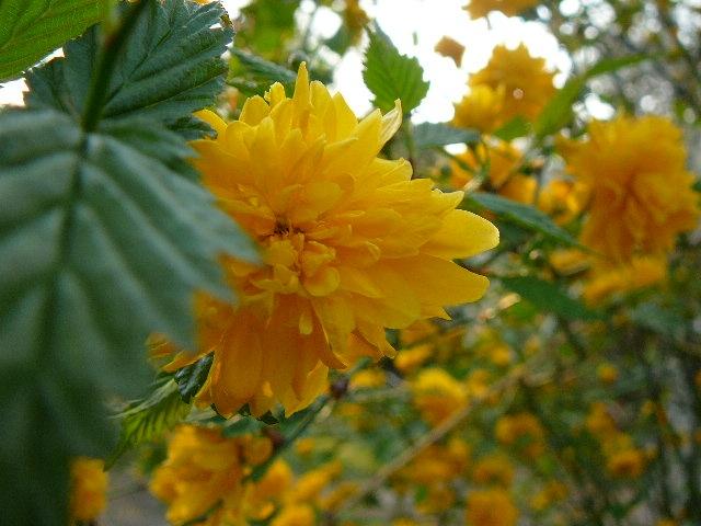 """Керрія японська """"Пленіфлора"""" (Kerria japonica """"Pleniflora"""") - 2"""