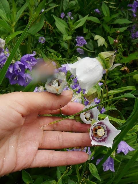 Кодонопсис ломиносоподібний (Codonopsis clematidea) - 1