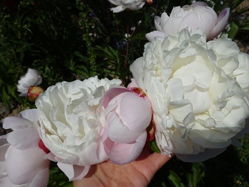 """Півонія """"Гарденія"""" (Paeonia """"Gardenia"""") - 4"""