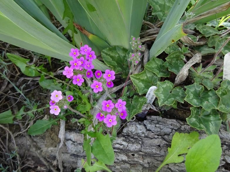 Переломник гіллястий (Androsace sarmentosa) - 4
