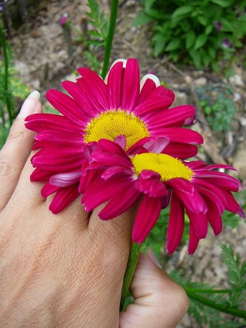 "Маруна рожева гібрид ""Джемс Келвей"" (Pyrethrum roseum hybridum ""James Kelway"") - 2"