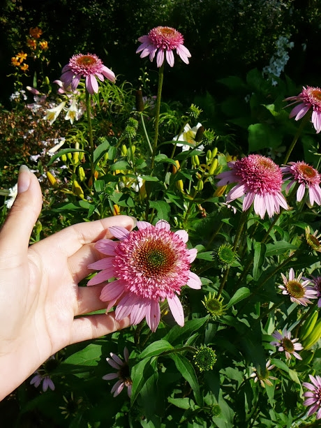 "Ехінацея пурпурова ""Раззматазз"" (Echinacea purpurea ""Razzmatazz"") - 4"