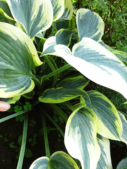 "Хоста ""Ферст Фрост"" (Hosta ""First Frost"") - 4"