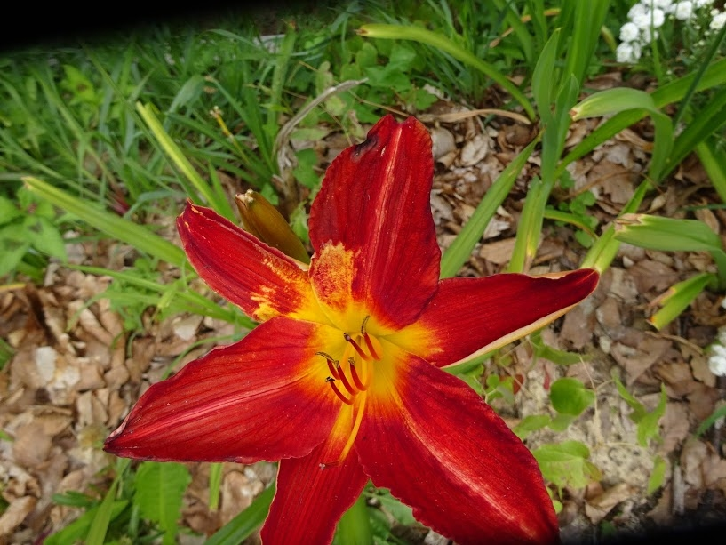 "Лілійник ""Керрі Куін"" (Hemerocallis ""Carey Queen"") - 2"