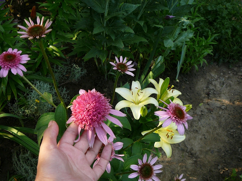 "Ехінацея пурпурова ""Раззматазз"" (Echinacea purpurea ""Razzmatazz"") - 7"