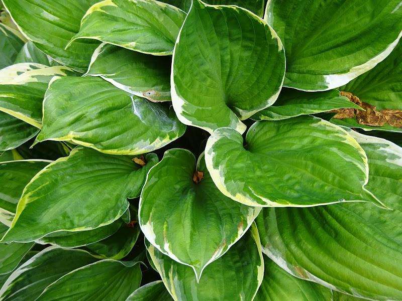 Хоста Форчуна вар. Ауреомаргіната (Hosta fortunei var. aureomarginata) - 4