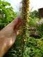 Наперстянка іржава (Digitalis ferruginea) - 2