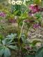 """Чемерник гібридний ЛС """"Блю Леді"""" (Helleborus × hybridus LS """"Blue Lady"""") - 2"""