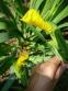 Півники болотні (Iris pseudacorus) - 4