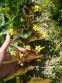 """Вербозілля війчасте """"Файркрекер"""" (Lysimachia ciliata""""'Fireсraker"""" ) - 1"""