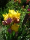 """Півники бородаті """"Енханте Оне"""" (Iris """"Enchanted One"""") - 8"""
