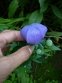 """Широкодзвоник великоквітковий, або Платікодон (Platycodon grandiflorus """"Fuji Blue"""", """"Fuji Pink"""" ) - 2"""