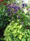 "Орлики звичайні ""Лепрекон Голд"" (Aquilegia vulgaris ""Leprechaun Gold"") - 2"