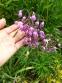 Цибуля схилена (Allium cernuum  Roth) - 1