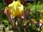 """Півники бородаті """"Енханте Оне"""" (Iris """"Enchanted One"""") - 1"""