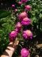 """Маруна рожева гібрид """"Ванесса"""" (Pyrethrum roseum hybridum """"Vanessa"""") - 1"""