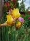 """Півники бородаті """"Енханте Оне"""" (Iris """"Enchanted One"""") - 6"""