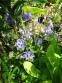 """Орлики звичайні """"Вінкі Ірлі Скай Блу"""" (Aquilegia vulgaris """"Winky Early Sky Blue"""") - 2"""