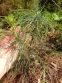 Сосна Валліха, або сосна гімалайська (Pinus wallichiana) - 2