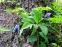 Княжик альпійський (Atragene Alpina) - 1