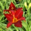"Лілійник ""Керрі Куін"" (Hemerocallis ""Carey Queen"") - 1"
