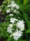 "Орлики звичайні ""Клементін Вайт"" (Aquilegia vulgaris ""Clementine White"") - 1"