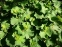 Манжетка м'яка (Alchemilla mollis) - 4